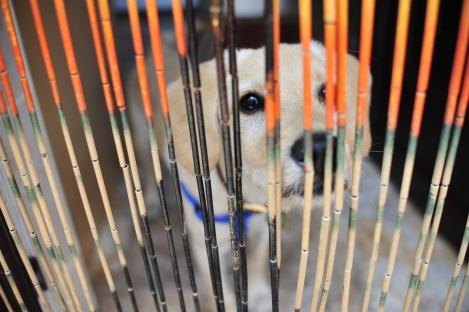 labradoodle behind curtain, dog behind curtain